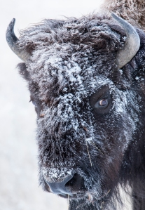 Frosted bison portrait, Yellowstone National Park, Wyoming